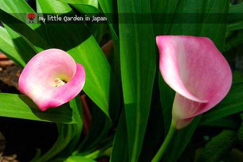 dig-up-the-calla-lilies-4