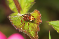 """Thick-Headed Fly (Sicus ferrugineus)(3) • <a style=""""font-size:0.8em;"""" href=""""http://www.flickr.com/photos/57024565@N00/542120209/"""" target=""""_blank"""">View on Flickr</a>"""