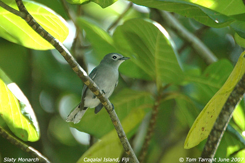 Slaty Monarch (Mayrornis lessoni)