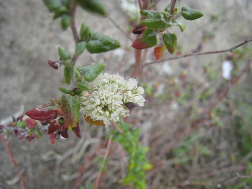 Seacliff buckwheat