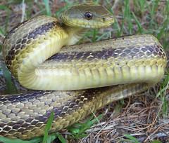 Elaphe obseleta (JM Butler) Tags: reptile snake culebra scales serpent snakes herp slither squamata squamate forkedtoungue jasonbutler jmichaelbutler