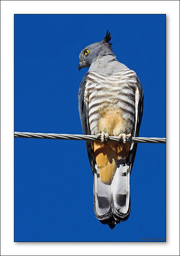 Pacific Baza (Crested Hawk)