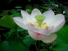 Nelumbo Open (Josh*m) Tags: lotus nelumbonaceae nelumbo sacredlotus nelumbonucifera gravitywave8808
