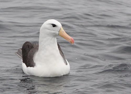 Albatros de ceja negra (Thalassarche melanophris)