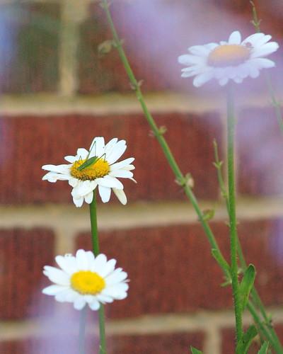 daisy hopper