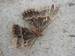 T moth