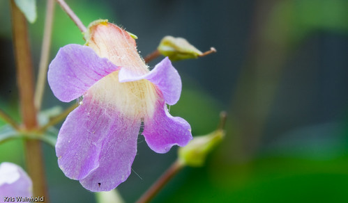 Limnophila aromatica Flower