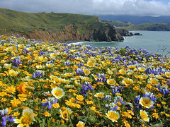 Mori Point in May (AGrinberg) Tags: sanfrancisco california ca flowers point bay coast spring explore area pacifica mori lupine ggnra tidytips moripoint 8753morimayflowers