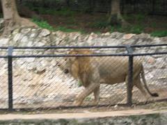 Sri Chamarajendra Zoological Gardens (dciandy) Tags: india zoo lion mysore mysorezoo srichamarajendrazoologicalgardens