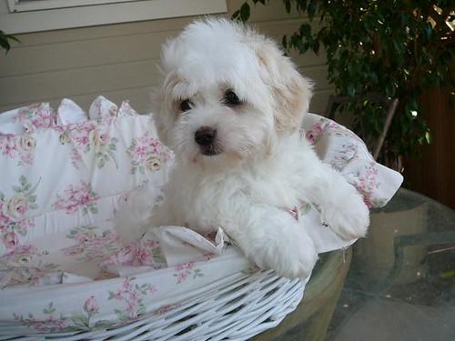 Coton de Tulear Puppies by myd...