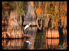 Peaceful (SisPau Images) Tags: trees white lake tree bird heron nature water digital reflections landscape paul outdoors photography photo moss flickr framed scenic roots keith olympus images professional spanish photograph cypress caddo egret 2007 signed waterscape e500 supershot paulkeith anawesomeshot flickrphotoaward overtheexcellence copyrightedbypaulrkeithallrightsreservednounauthorizedusageallowed sispau