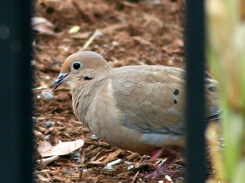 Mourning Dove 20101025