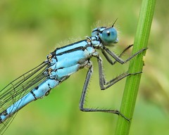 Common blue damselfly (Enallagma cyathigerum), male