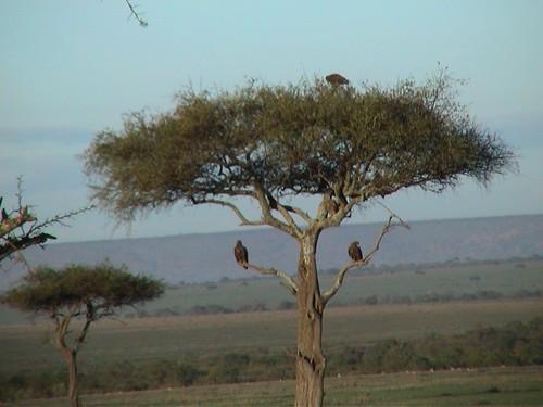 Mara Eagles