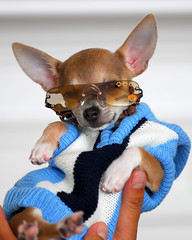 Handful of Biggie (*Kendall*) Tags: chihuahua smile sunglasses puppy ears smirk doggles biggie dogsweater cutepuppy dogsunglasses