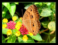 Beautiful Peacock Pansy (Junonia almana javana) resting on our lantana. Shot July 18, 2007