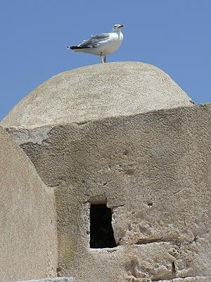 mouette sur les remparts de Bonifacio.jpg