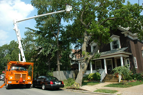 Parks Department beginning to remove a toppled street tree.