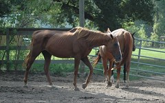 """Skinny chestnut mare (Saveena (AKA LHDugger)) Tags: horse animal fauna female skinny spring mare all texas no tx lisa any h rights chestnut form written thin ymca without usage reserved equine equus allowed consent dugger """"© ymcacamppinetree saveena"""""""