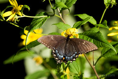 Black Swallowtail (t.sullivan photography) Tags: black butterfly insect swallowtail skylinedrive shenandoahnationalpark naturesfinest superbmasterpiece