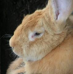 Konijn/rabbit (berryvantuijl) Tags: rabbit zoo 2007 beesd betuwe bunnyloversunite biggestgroup ihaveabunny depaay jalalspagesanimalkingdom berryvantuijl uilendierenpark withallkindofanimals