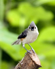 Tuffted Titmouse (jayb.1000) Tags: bird wildlife attitude titmouse