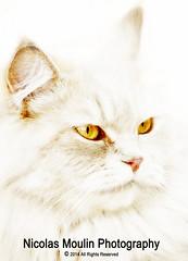 Mowi (Nicolas Moulin (Nimou)) Tags: cat chat gato themoulinrouge blueribbonwinner 50faves abigfave bestofcats platinumphoto anawesomeshot superbmasterpiece