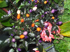 Chili, species: Bolivian Rainbow (krismo_pompas) Tags: chili chillies bolivianrainbow clilli