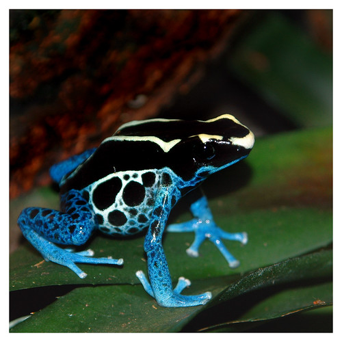 Blue Dyeing Dart Frog, Baltimore, MD