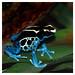 Blue Dyeing Dart Frog, Baltimore, MD