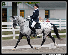 CITA Normark - A Horse of a Different Color (Rock and Racehorses) Tags: horses horse appaloosa dad pa devon d200 trot dressage horsesatwork knabstrupper dressageatdevon appaloosasporthorse citanormark cedarcreekstables