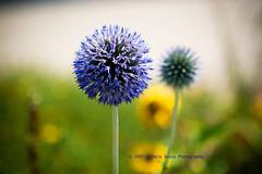 i miss summer (:vicki:) Tags: flower purple interestingness80 i500