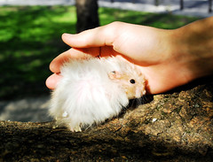 Protection... ~ Pucio (pyza*) Tags: boy pet cute animal outdoors rodent time sweet good critter first hamster ever syrian hammie pucio chomik