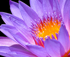 Closer to the Truth (DigitalLUX) Tags: flowers flower beautiful yellow pond flora waterlily purple flor amarillo nymphaea prpura nenfar nenfares waterplant waterliles plantaacutica