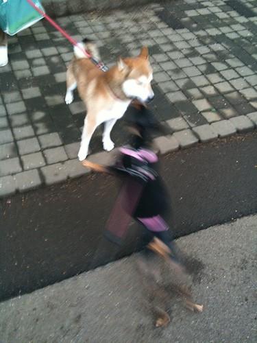 そして一方的に柴犬モンちゃんに絡む黒犬。ぶれています。