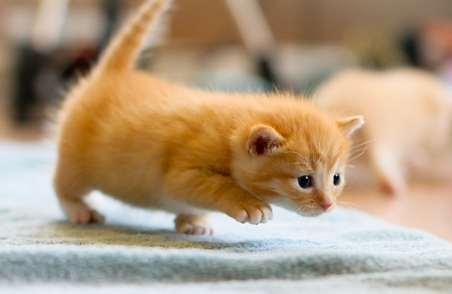 cute ginger kitten pointing