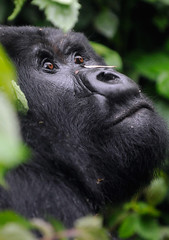 Guhondo, Mountain Gorilla 2/3