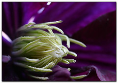 Getting to the Heart of the Matter (Jill's Junk) Tags: fab flower macro nature bravo purple searchthebest centre clematis vine soe excellence naturesfinest blueribbonwinner interestingness10 excellenceinfloralphotography canon100mmf28 supershot magicdonkey i500 flowerotica flickrsbest flowercentremacro beautifulcapture mywinners abigfave flickrgold shieldofexcellence anawesomeshot tiossealofapproval ultimateshot ultimateshots explorethis superbmasterpiece goldenphotographer diamondclassphotographer frhwofavs empyreanflowers searchandreward worldpicture flowererotica theunforgetablepicture naturenolimits photostosmileabout jillsjunk brillianteyejewel thecoolestdamncoolphotograhers explore070707 flickrsstars idontknowwhybutilikethisshot flowerorfoliagedetail