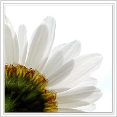 Giant Daisy (Kirsten M Lentoft) Tags: sky white flower topc25 topv111 garden giant bravo daisy aesthetic naturesfinest blueribbonwinner topvaa magicdonkey anawesomeshot impressedbeauty momse2600 anawesoomeshot coffee kirstenmlentoft klatch