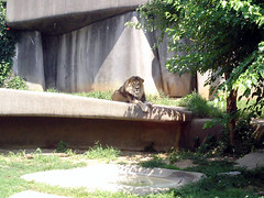 Louisville 044 (berriehol) Tags: kentucky lion louisville louisvillezoo