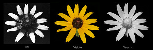 black-eyed susan (rudbeckia hirta), full spectrum