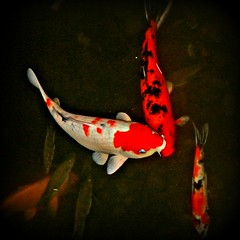 Koi Fish - by Mercedes.. Life as I picture it