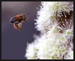 Bee flying (Azuma.) Tags: macro nature canon insect dof natureza bee abelha inseto 5d 100m azuma naturesfinest amazingtalent perfectangle platinumphoto anawesomeshot colorphotoaward aplusphoto diamondclassphotographer superhearts top20everlasting top30macro