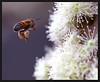Bee flying (Azuma.) Tags: macro nature canon insect dof natureza bee abelha inseto 5d 100m azuma naturesfinest amazingtalent perfectangle platinumphoto anawesomeshot colorphotoaward aplusphoto diamondclassphotographer superhearts top20everlasting top30macro