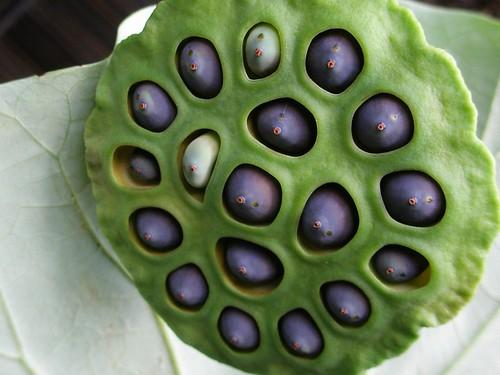 Lotus seed boob