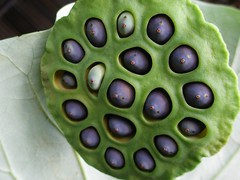 Lotus seeds (tanakawho) Tags: plant flower macro green nature leaf pod lotus seed tanakawho impressedbeauty superbmasterpiece flickrchallengegroup afterclass218