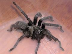 Aphonopelma reversum (Jacob Kalichman) Tags: male spider mature tarantula hook aphonopelma bulp palpal tibial palp pedipalp embolus reversum