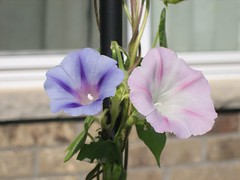 morningglories 011