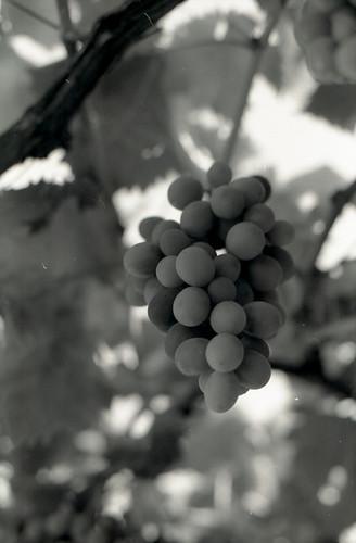 through the grapevine01