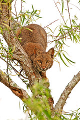 Texas Bobcat at Brazos Bend (Let there be light (A.J. McCullough)) Tags: texas bobcat brazosbend anawesomeshot unature unaturefav